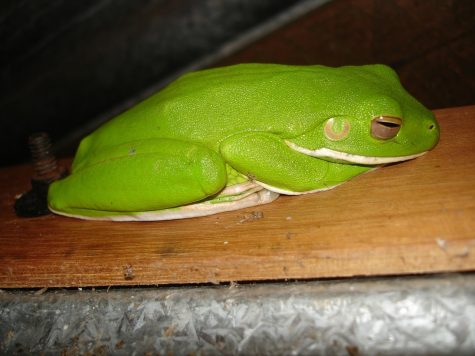Top Frogs To Own As Pets
